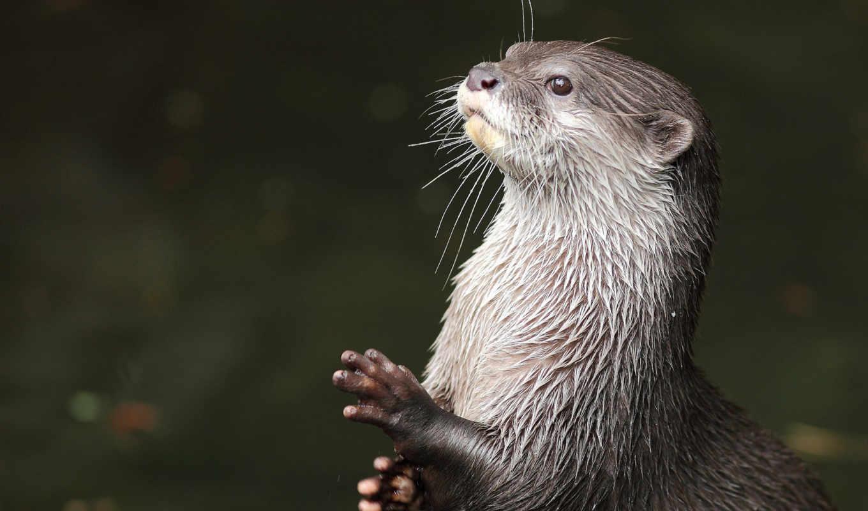 nutria, otter, мар, desktop,
