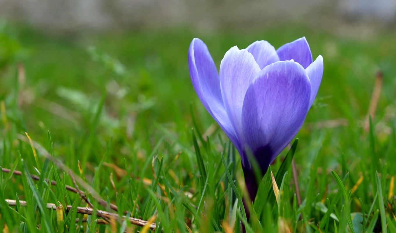 весна, трава, цветы, крокус, макро, первоцвет, blue, природа,