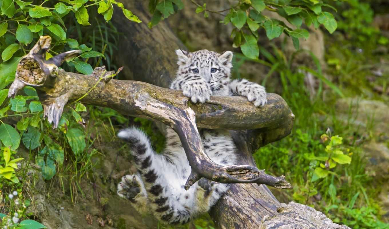 леопард, снег, барса, снежного, лежит, котенок, branch, снежные, барсы, tambako,