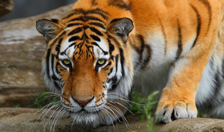 win, usb, тигр, windows, installation, wolf, тигры, rus, eng, хищник, winxp, животные, кошка, дикая, shadowbox,