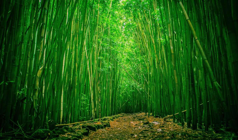 бамбуковый, les, бамбук, бамбуковий, халеакала, park, maui,