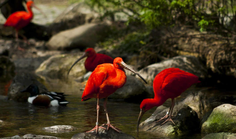 ибисы, камни, ручей, мох, птицы, деревя, природа, water,