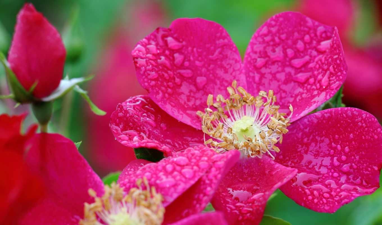 цветы, красивые, розы,