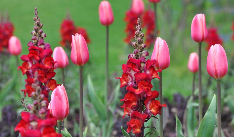 львиный, тюльпаны, зев, часть, besthdw, цветы,