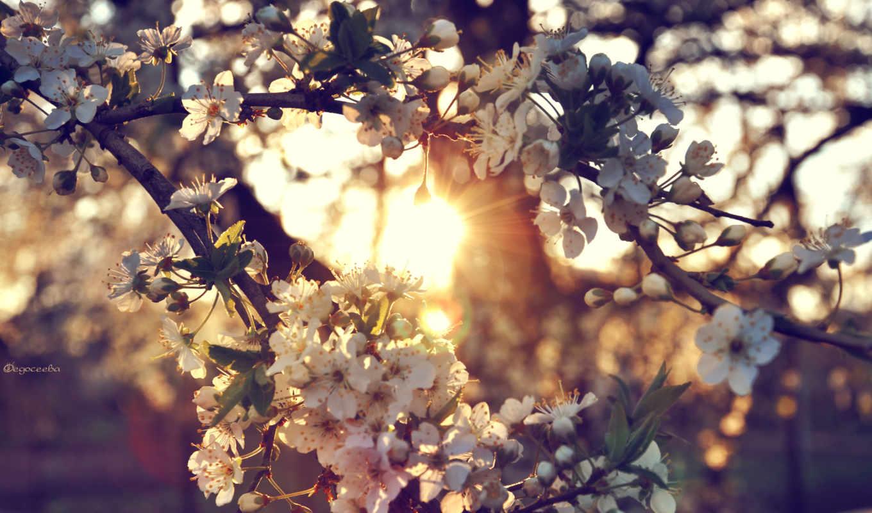 дерево, cherry, ветки, цветы, закат, sun,