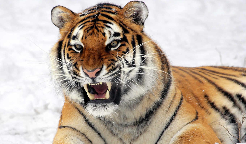 ухмылка, тигр, морда, угроза, смотреть, снег, лежит, клыки, water,