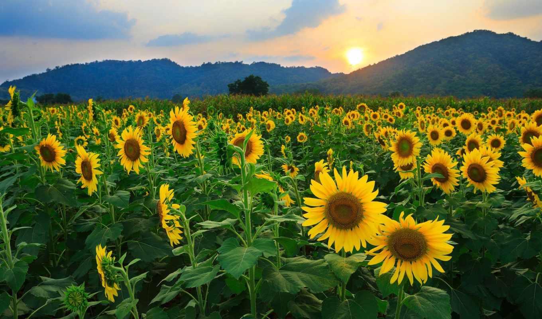 природа, небо, цветы, страница, sun, поле, листва, подсолнухи, хорошем, рассветы,