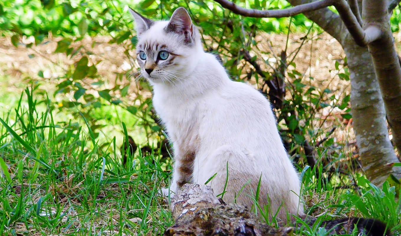 cats, смотреть, сиамский, кот, pinterest, free, красивые, zhivotnye, fish, забавные,
