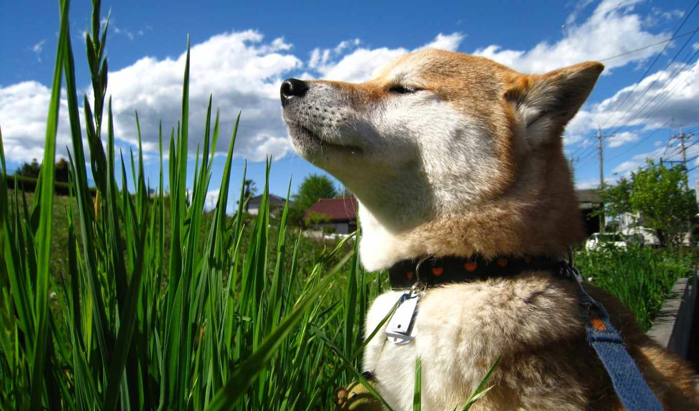 shiba, заставки, grandwallpapers, фоны,