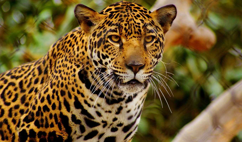jaguar, animal, black, хищник, zhivotnye, жирафы, морда, картинку,