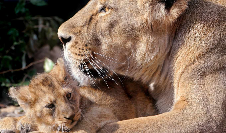 zhivotnye, львица, львенок, широкоформатные, заставки, коллекция, львы,
