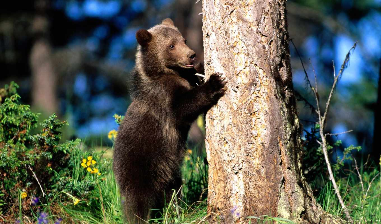медведь, zhivotnye, медведи,