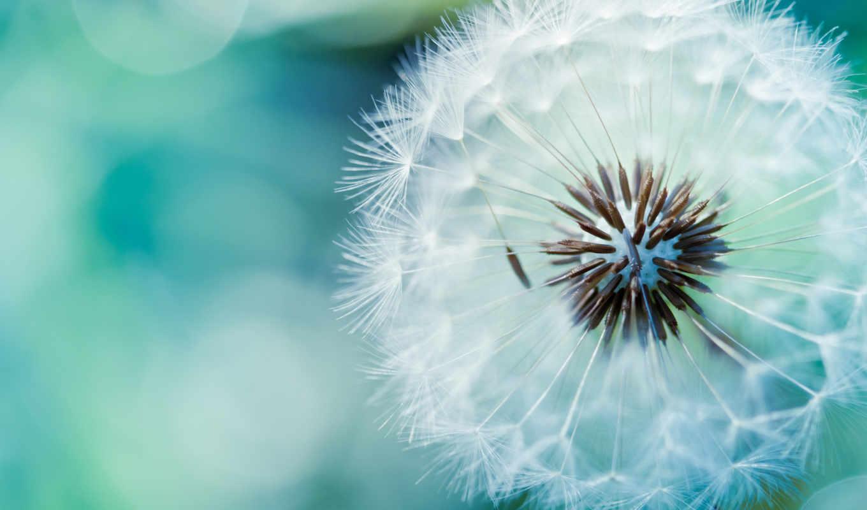 ,цветы, одуванчик, природа, семена,