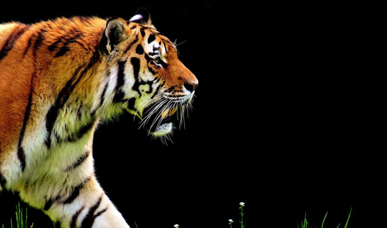 тигр, джима, bild, national, zum, korbetta, эти, package, другой