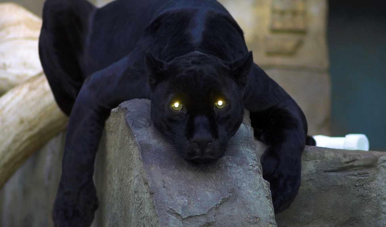 пантера, черная, кошка, глаза,