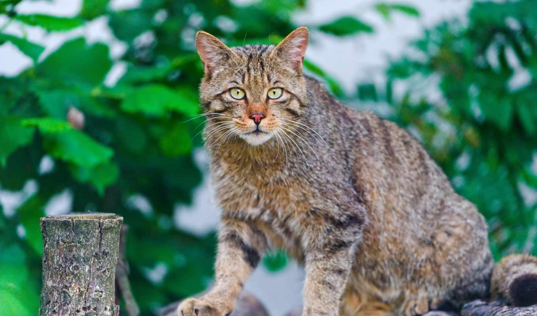 кот, striped, climb, красивые, старый, свет, котенок, дворовой, назад, жуликоватый, бревнах,