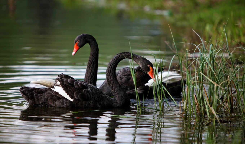 лебеди, лебедь, пруду, black, лебедей, пруд, white, птицы, картинка, воде, pair,