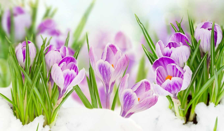 февр, крокусы, цветы, чтобы,