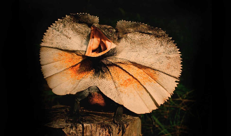 ящер, плащеносная, chlamydosaurus, kingii, фото, картинка,