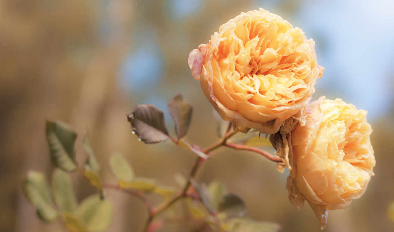 роза, чая, розы, цветы,