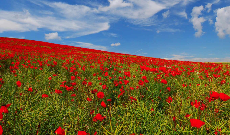 поле, цветы, маки, небо, природа,
