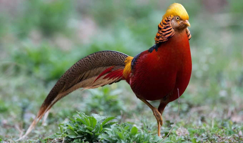 , золотой, фазан, птицы,