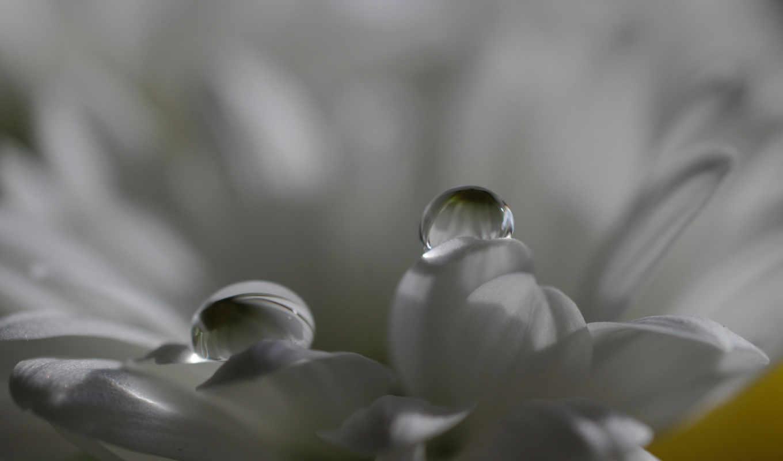 макро, цветок, лепестки, роса, капли, белый,