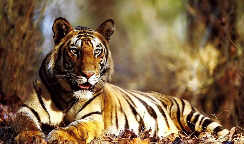 тигр, взгляд, лежит, осень, desktop,