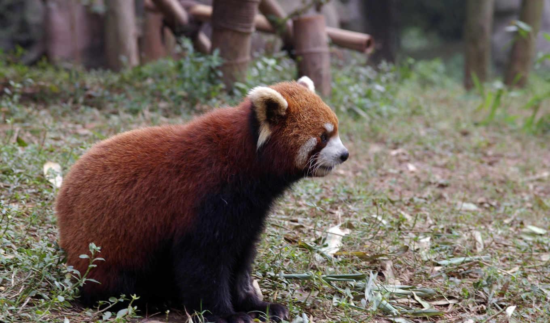 панда, vermelho, панды, ailurus, parede, desktop,