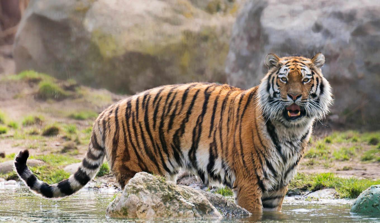 тигр, amur, кот, дикая, тигра, высоком, хищник, большая, тела,
