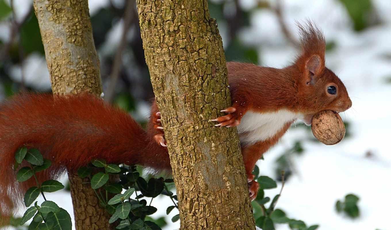 белка, рыжая, дерево, орех,