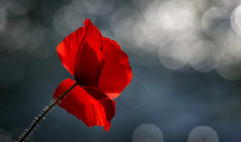 высоком, цветы, качестве, макро, широкоформатные, марта,