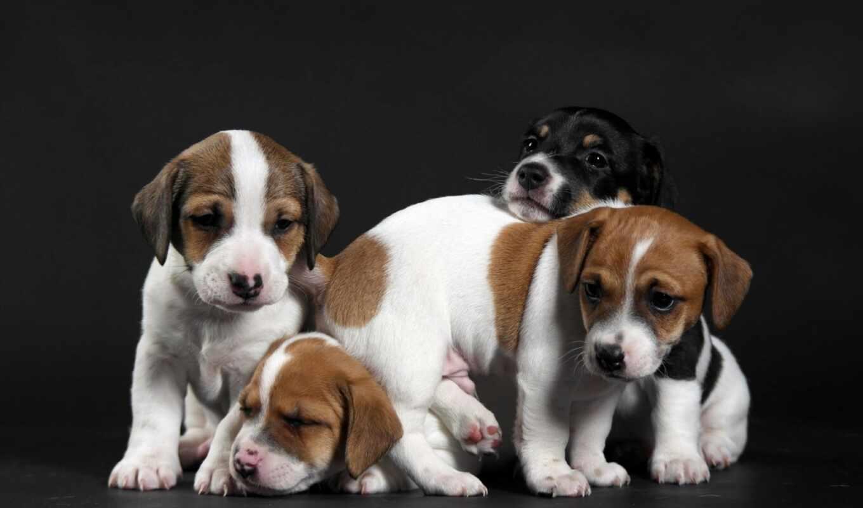 собака, щенок, portrait, тег, animal, взгляд, морда, доберман, заставка