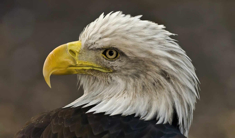 орлан, птица, перо, golov, animal, adler, загадка, vogel, голова