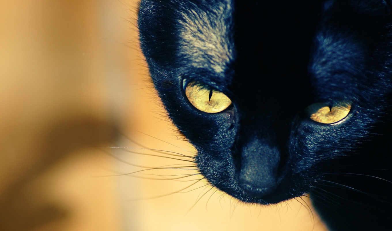 кошка, глаза, желтые, взгляд,