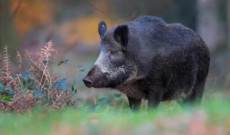 лес, свинья, кабан, black, animals, животные, большой, wild, desktop, devushki,