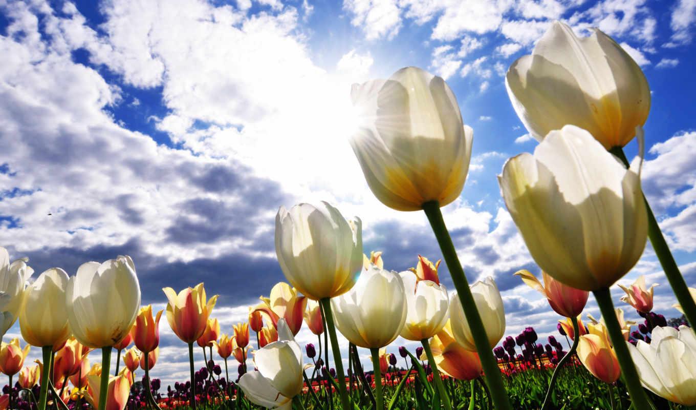 цветы, поля, небо, тюльпаны, white,