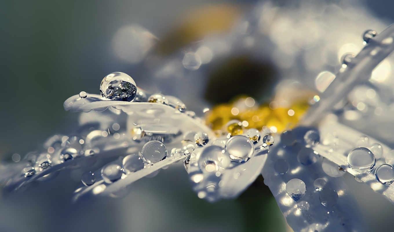 макро, цветы, капли, лепестки, ромашка, роса,