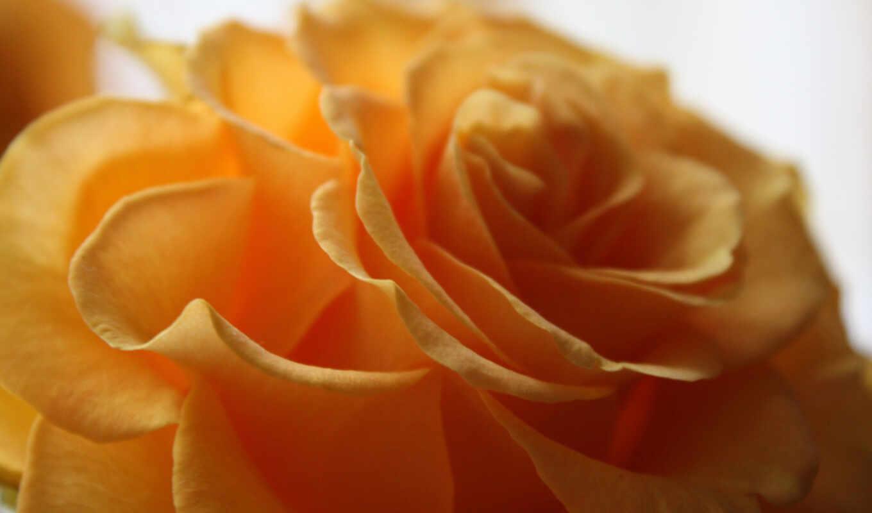 ,yellow, макро, цветок, желтый