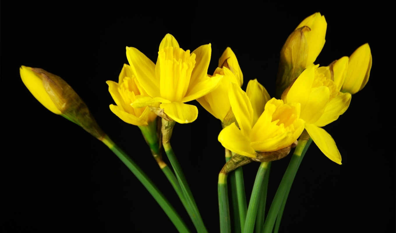 лепестки, бутоны, желтые, black, оранжевые, тюльпаны, роза, желтая,