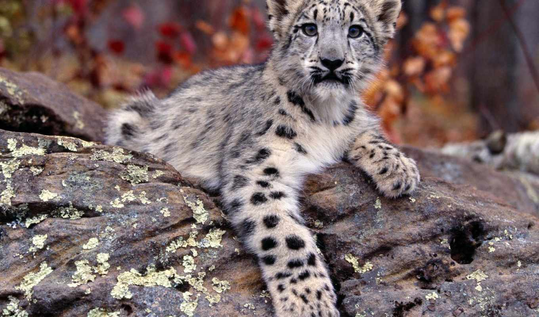 снег, леопард, small, ирбис,