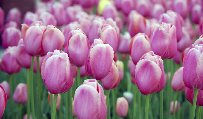 тюльпан, тюльпанов, был, воспет, году, персидским, великим, называется, турецком, цветы,