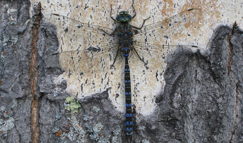 dragonfly, стрекоза, wallpaper, free, dragon, дереве, fly, desktop,