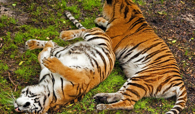 тигры, животные, валяются, отдыхают