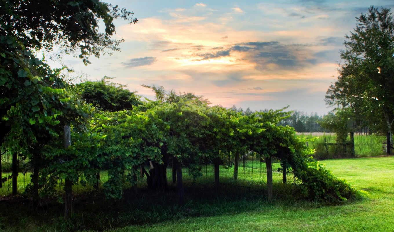виноградник, зелень, облака, nature, смотрите, desktop,