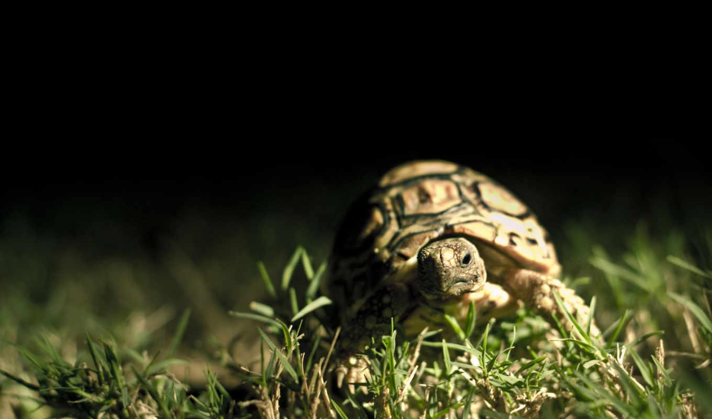 черепаха, трава, панцирь, темный, макро, картинку, кнопкой,