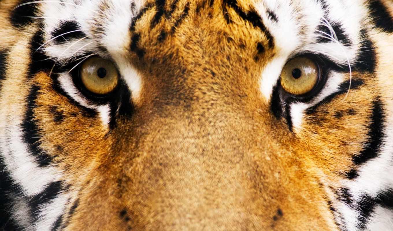 морда, тигр, глаза, полосы,