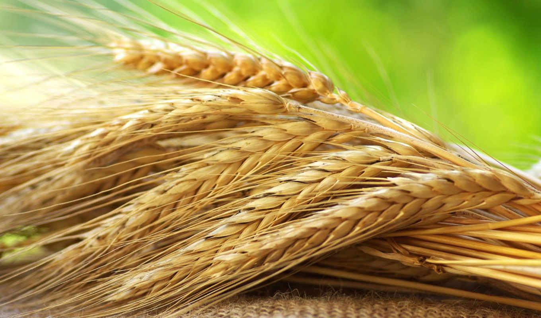 соломенные, озимой, зерно,
