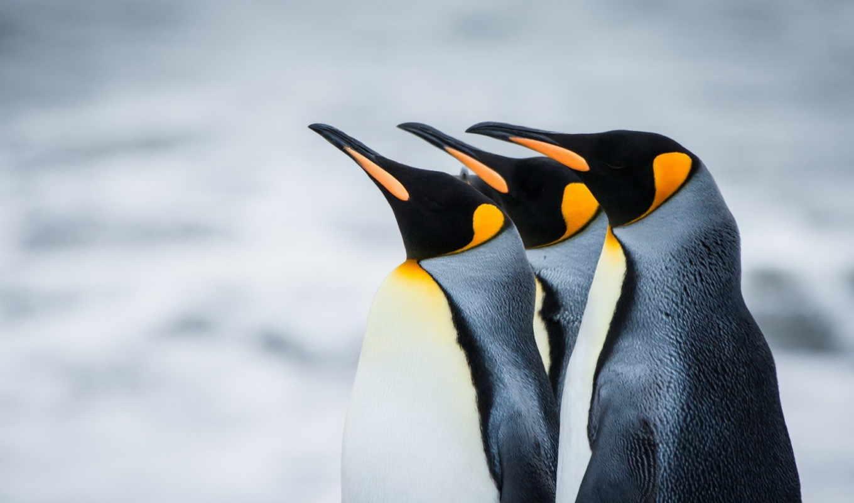 пингвины, antarctic, королевские,