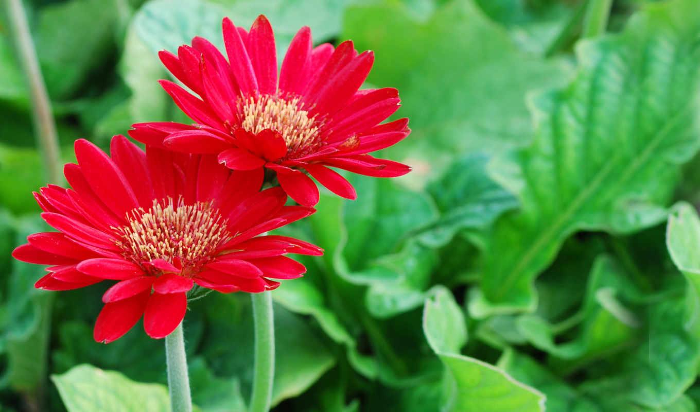 cvety, красные,